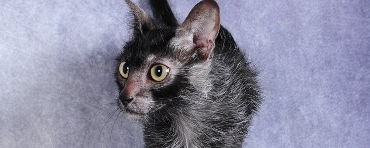 Debido a que su descubrimiento es muy reciente, no se conocen enfermedades concretas asociadas con los gatos lykoi