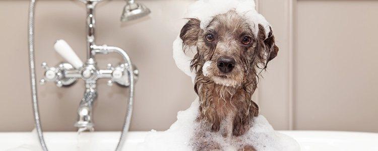 Antes de bañar a tu perro tienes que cepillarle el pelaje