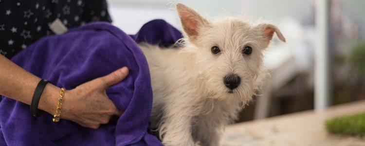 Para secar el pelo de tu perro debes usar una toalla y no el secador porque les asusta