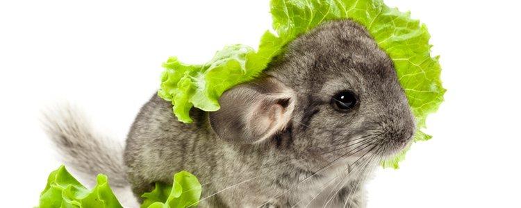 Cuanto más variada sea la dieta del roedor más beneficios obtendrá