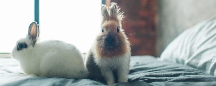 No todos los conejos pierden el pelo durante el mismo tiempo