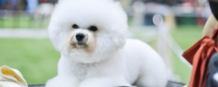 Esta raza de perro es muy inteligente y tiene micha facilidad para aprender