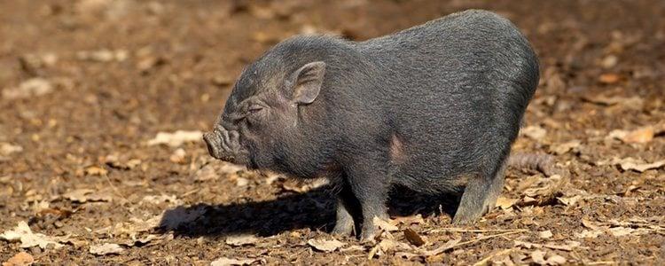 Los cerdos vietmanitas no necesitan cuidados muy específicos en su día a día