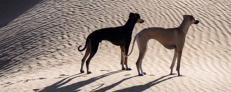 Esta tipo de galgo es perro guardián de rebaños y caza animales como antílopes