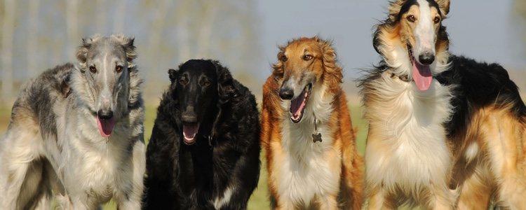 El galgo ruso era el perro de compañía de la aristocracia