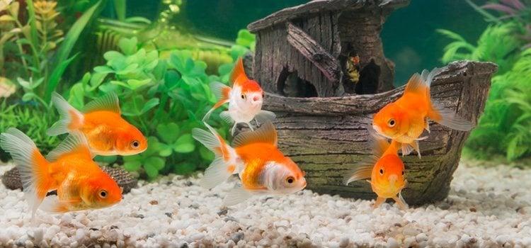 Lo ideal para la cría de peces en un acuario es que compres un grupo de 6 u 8 peces jóvenes
