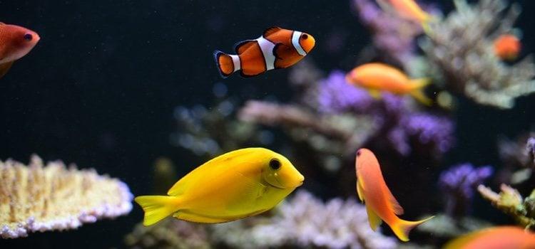 Algunos peces se comerán a sus crías durante la primera puesta pero luego aprenden a cuidarlas