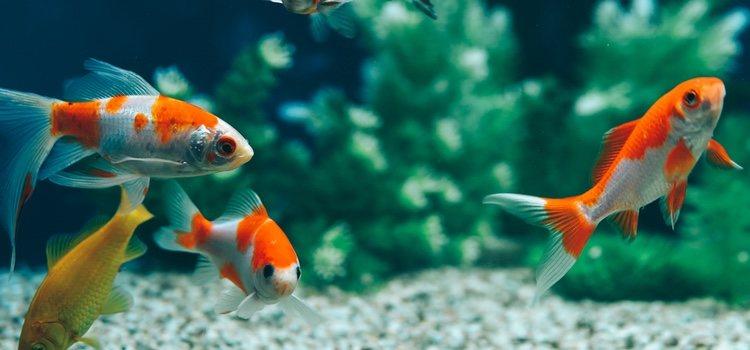 Aprende cuales son los tipos de peces que pueden ayudarte a limpiar el acuario