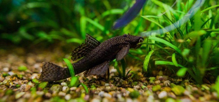 Estos peces son un poco tímidos