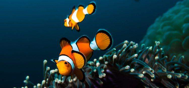 El pez payaso puede ser la opción más estilística