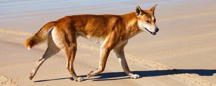 El Dingo Australiano es pariente del Cantor de Nueva Guinea