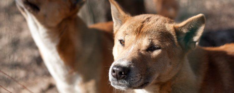 Estos perros son poco conocidos ya que se encuentran en extinción