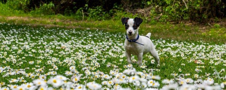 El Fox Terrier Chileno suele ser blanco con alguna que mancha negra o marrón
