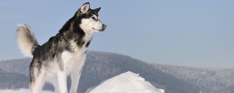 El Alaska Husky es la raza utilizada para tirar de los trineos