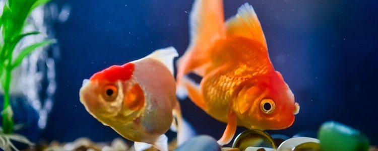 Se recomienda evitar los viajes innecesarios de los peces