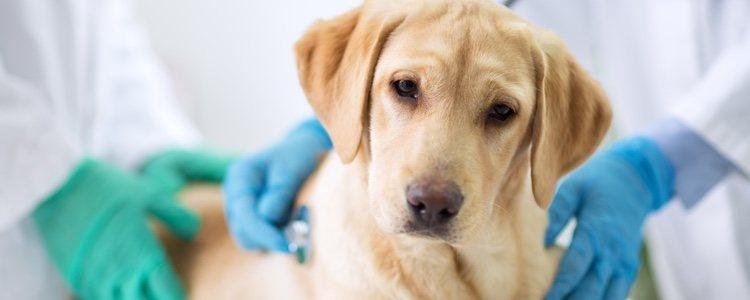 Para las perras la técnica habitual es la ovariohisterectomía