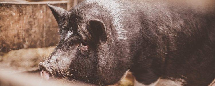 Los cerdos vietnamitas son muy buenas mascotas por su carácter cariñoso y les encanta jugar