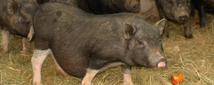 Los cerdos vietnamitas pueden llegar a pesar hasta 65kg, por lo que no se pueden tener en una casa pequeña