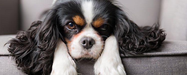 Los Spaniel suelen caracterizarse por ser perros de tamaño mediano