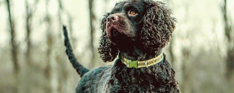 En España puede ser difícil encontrar un cachorro de American Waster Spaniel