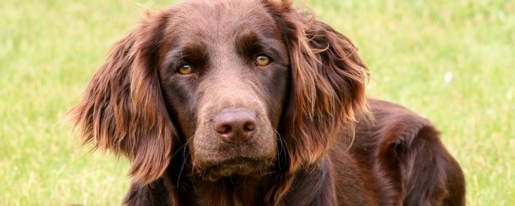 Su pelaje marrón con tonos rojizos es muy característico