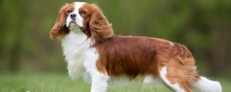 Es un perro doméstico por lo que necesitará estar acompañado y en casa