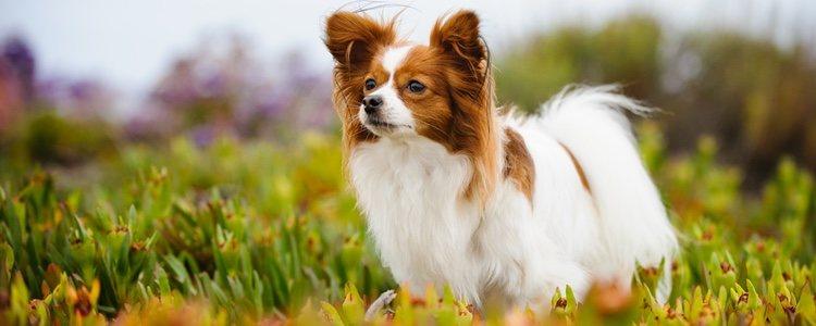 Es conocido con el nombre de perro mariposa por la forma que tienen sus orejas