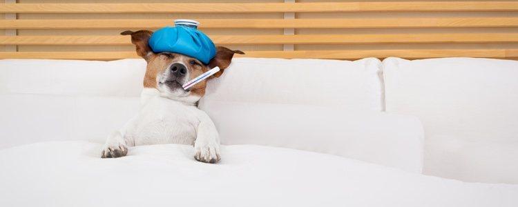 Es muy importante cumplir los diferentes programas de vacunación y desparasitación del perro