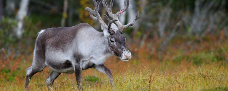 Papá Noel no sería nada sin sus renos