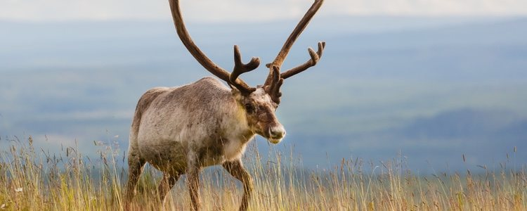 Clemente Moore describe a Papá Noel como un hombre en trineo tirado por renos