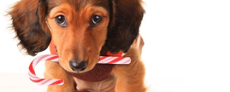La acumulación de azúcares en el organismo de los perros puede generar afecciones como diabetes