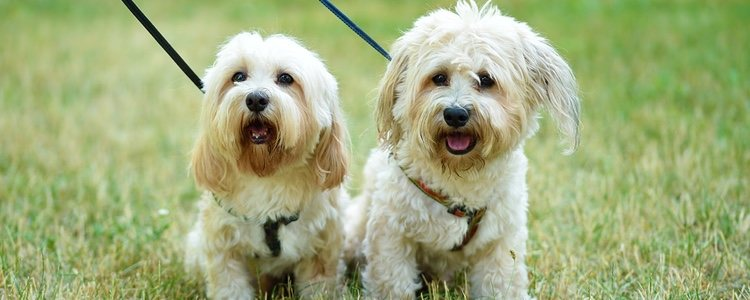 Son perros cariñosos y familiares con una gran adaptabilidad al entornoy a las personas