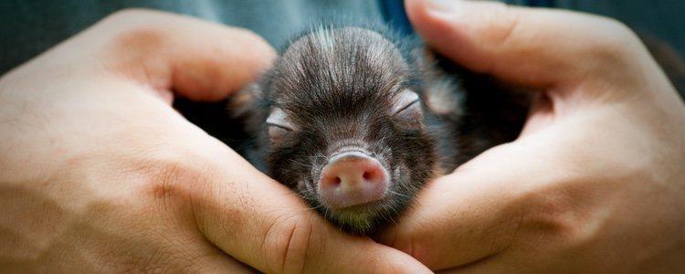 Los mini pig unas mascotas cada vez más frecuentes