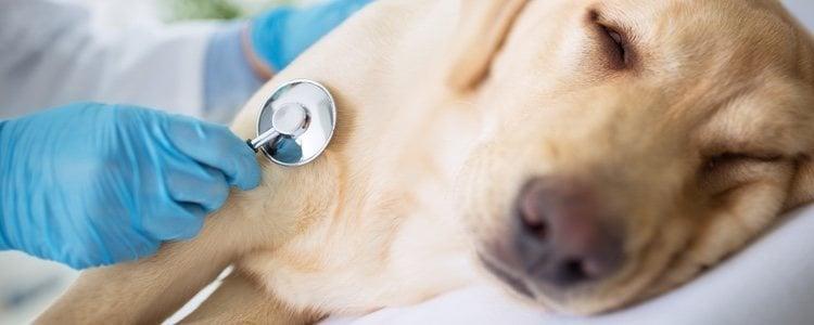 Un síntoma claro de que tu perro va a morir es que no quiera salir a la calle a pasear
