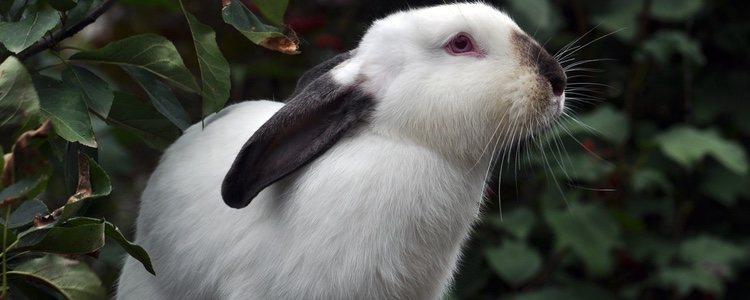 Sus orejas pueden medir entre unos 2 o 3 centímetros y acaban en punta redondeada