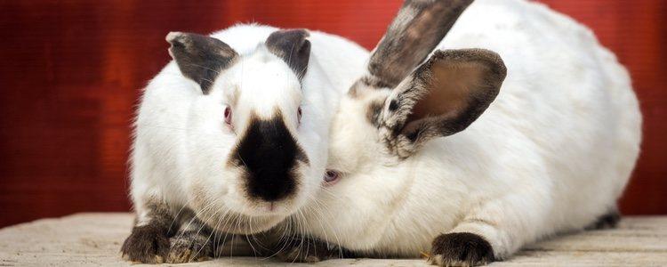 El conejo californiano es muy juguetón pero también muy tranquilo