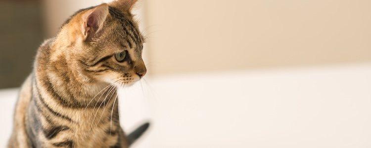 El gato de Bengala no teme al agua