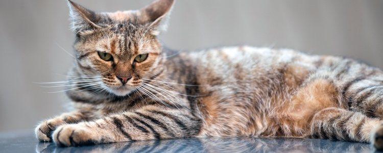 El gato de Bengala es un híbrido creado en EEUU