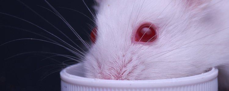 La alimentación de este tipo de hámster es como la del resto de roedores de su especie