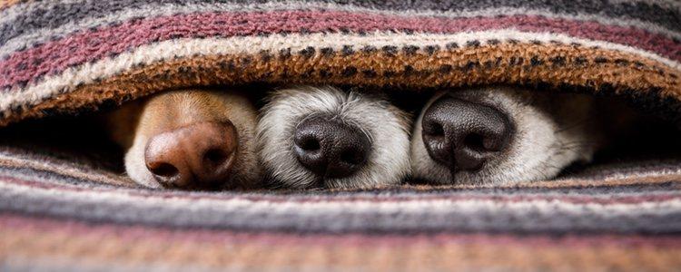 Debido a los desplazamientos de los perros desde otros países se han encontrado casos en países del norte de Europa