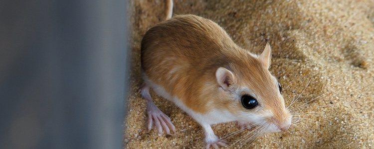 La rata canguro tiene grandes las patas traseras, recibiendo este nombre por su similitud con el canguro