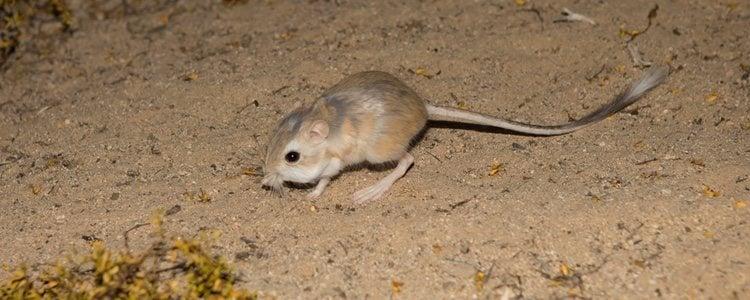 El desierto y las zonas rocosas son las más adecuadas para su supervivencia