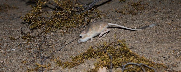 La rata canguro está acostumbrada a unas condiciones climatológicas muy concretas