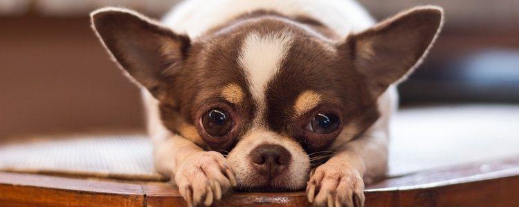 El chihuahua es un perro de pelo corto