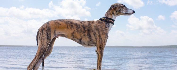 El galgo, uno de los perros más esbeltos