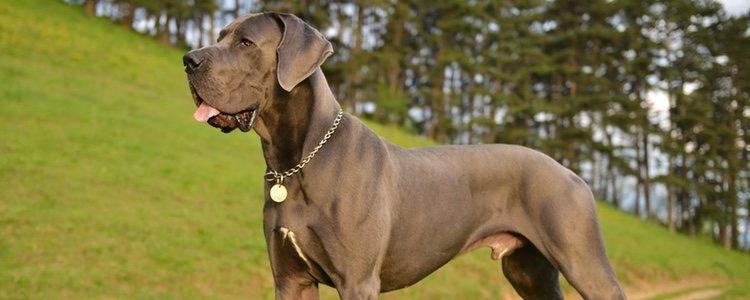 El gran danés es uno de los perros más grandes