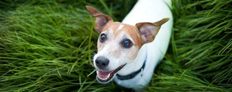 El Jack Russell es una raza de perro bastante nerviosa