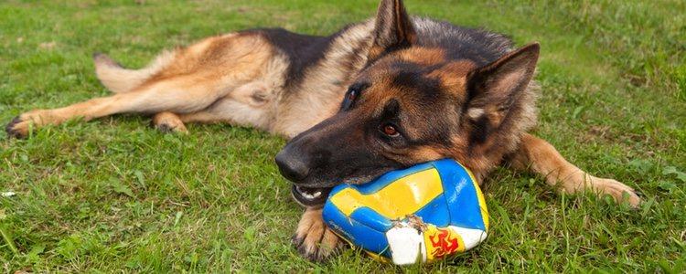 Que un perro sea más grande que otro no implica que tenga más fuerza en la mordedura