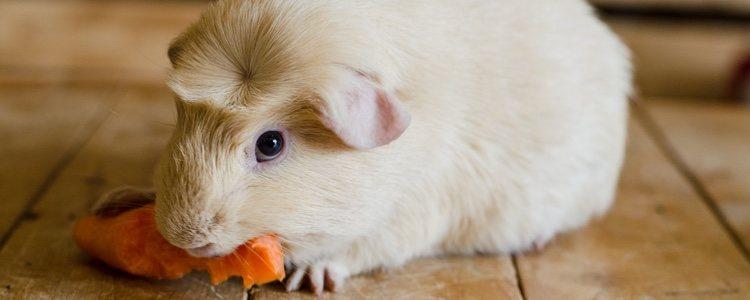 Su dieta es herbívora y necesitan grandes cantidades de a vitamina C