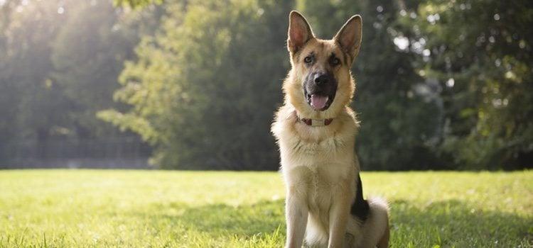 El perro policía Rex es un Pastor Alemán